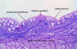 Sezione trasversale di esofago di larva di orata