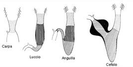 Intestino anteriore di Teleostei. Fonte: modificata da Harder, Anatomy of fishes