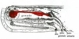 La vescica natatoria (in rosso) tra gli organi del tronco. Fonte: modificata da D'Ancona