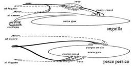 Corpi rossi e corpo ovale. Fonte: modificata da Harder, Anatomy of fishes