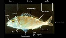 Pesce Teleosteo (pagello). Fonte: modificata da Francesco Costa, Atlante dei pesci dei mari italiani, Mursia Editore