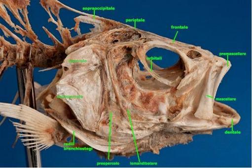 Cranio di spigola