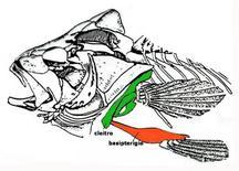 Cintura scapolare e pelvica in Perca. Fonte: modificata da Romer, Anatomia comparata dei Vertebrati