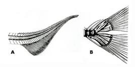 A: pinna eterocerca; B: pinna omocerca. Fonte: modificata da Harder, Anatomy of fishes