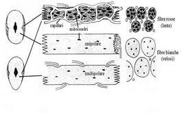 Fibre rosse e fibre bianche. Fonte: modificata da Lagler