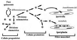 Accrescimento dei muscoli nei Pesci. Fonte: modificata da Johnston