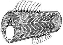 Muscolatura del tronco. Fonte: modificata da Leghissa