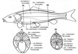 Organizzazione dei muscoli del tronco (A) e della coda (B). Fonte: modificata da Hibiya