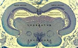 Sezione trasversale del mesencefalo di N. furzeri. Si ringrazia la dott. L. D'Angelo per la foto