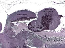 Sezione parasagittale del mesencefalo e del cervelletto di N. furzeri. Si ringrazia la dott. L. D'Angelo per la foto