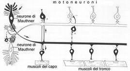 Sistema dei neuroni di Mauthner. Fonte: modificata da Bone