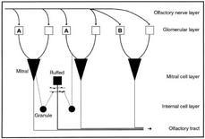 Composizione degli strati concentrici dei bulbi olfattori. Fonte: modificata da Laberge e Hara