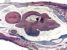 Sezione sagittale del cervello di N. furzeri. Si ringrazia la dott. L. D'Angelo per la foto