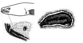 Organo olfattorio dell'anguilla. Fonte: modificata da Harder, Anatomy of fishes