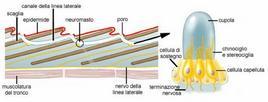 Schema della cute con canale della linea laterale e neuromasti. Fonte: modificata da University of Miami, Department of Biology