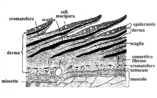 Fig 1. Schema della cute dei Teleostei con muscolatura sottostante. Fonte: modificata da Lagler