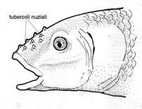 Ciprinide con tubercoli nuziali. Fonte: modificata da Winfield