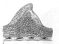 Schema della sezione di un tubercolo. Fonte: modificata da Winfield