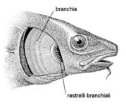 Branchie: l'opercolo è stato asportato. Fonte: modificata da Ommanney