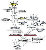 Albero filetico dei pesci. In giallo quelli d'interesse acquacolturale. Fonte modificata da Harder, Anatomy of fishes