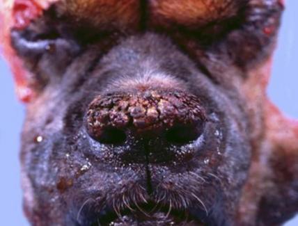 Cane –  Ipercheratosi del tartufo.