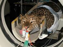 Studio del cranio in un leopardo in decubito sternale