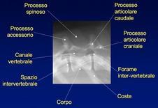 Anatomia radiografica di T13 in proiezione LL