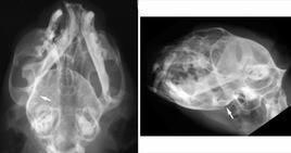 Lussazione rostrale del condilo mandibolare dx (freccia)