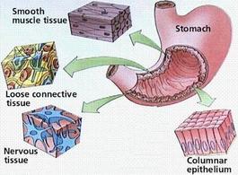 I tessuti possono essere raggruppati in quattro tipi fondamentali