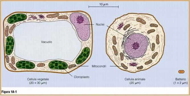 Le cellule e gli organelli in essi contenuti hanno dimensioni tali da non poter essere risolte dall'occhio umano. Fonte: Becker, Kleinsmith, Hardin, Il mondo della cellula, Edises, 2006