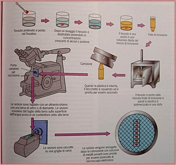 Preparazione dei campioni per l'osservazione in microscopia elettronica. Fonte: G. Karp, Biologia Cellulare e Molecolare, Edises, II Ed. 2004