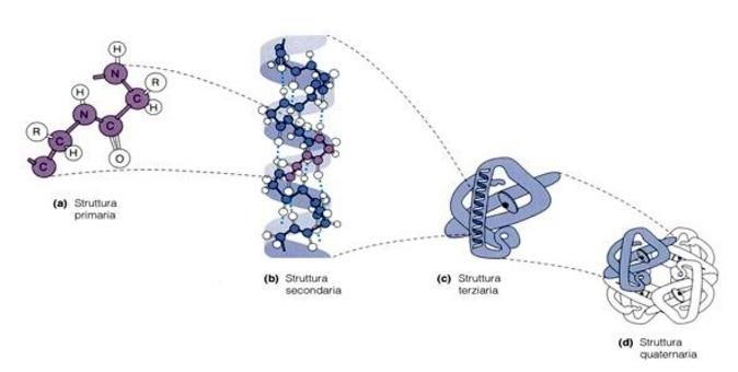 Fonte: Becker, Kleinsmith, Hardin, Il mondo della cellula, Edises, 2006
