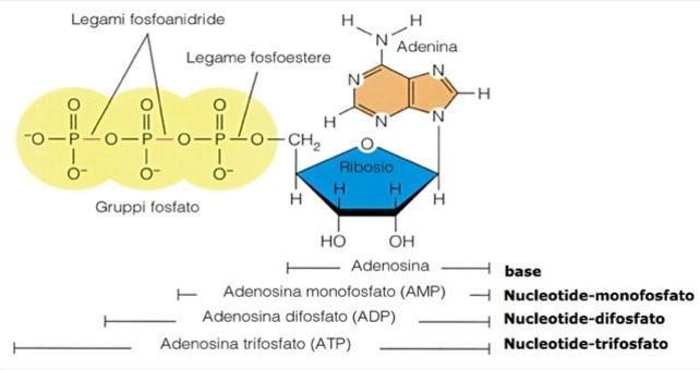Fonte: immagine modificata da Becker, Kleinsmith, Hardin, Il mondo della cellula, Edises, 2006