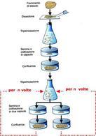 Principali tappe dell'allestimento delle colture cellulari. Fonte: AA.VV., Citologia funzionale, Edi-ermes, 2005