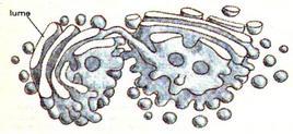 Apparato di Golgi