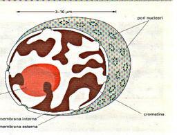 Fonte: Alberts et al., L'essenziale di biologia cellulare e molecolare. Zanichelli, 2004
