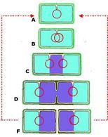 Schema della divisione della cellula batterica