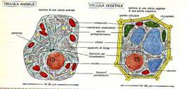 Micrografia al microscopio elettronico a trasmissione di una cellula animale e vegetale
