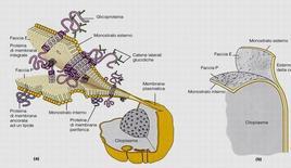 Freeze-etching (a dx) della membrana citoplasmatica e schematizzazione (a sx)