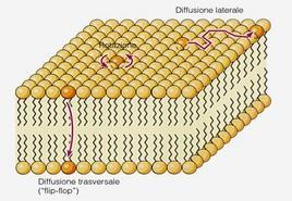 Schematizzazione dei possibili movimenti che i fosfolipidi possono effettuare nella membrana