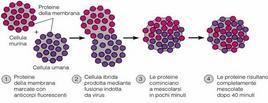 Fusione tra cellule murine e umane mostrante la fluidità delle proteine di membrana