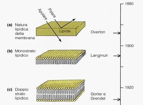 Modelli temporali della struttura della membrana Cellulare. Fonte: Becker, Kleinsmith, Hardin, Il mondo della cellula, Edises, 2006
