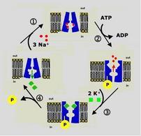 Schema del ciclo di trasporto della pompa Na+/K+ ATP dipendente