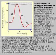 Cambiamenti di voltaggio durante un potenziale d'azione