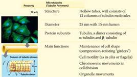 Principali caratteristiche e funzioni dei microtubuli