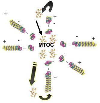 Il modello della instabilità dinamica si applica anche in vivo a livello degli MTOC