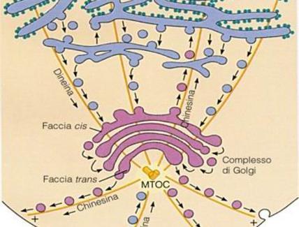 Schema del traffico vescicolare microtubulo mediato tra RER, apparato di golgi e membrana plasmatica
