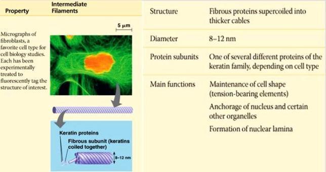 Le principali caratteristiche e funzioni dei filamenti intermedi