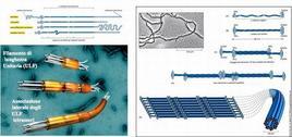 Stuttura delle unità monomeriche dei filamenti intermedi e ipotetici schemi di assemblaggio