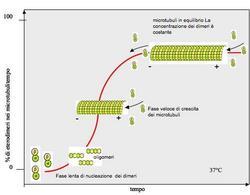 Schema della cinetica dell'assemblaggio in vitro di un microtubulo